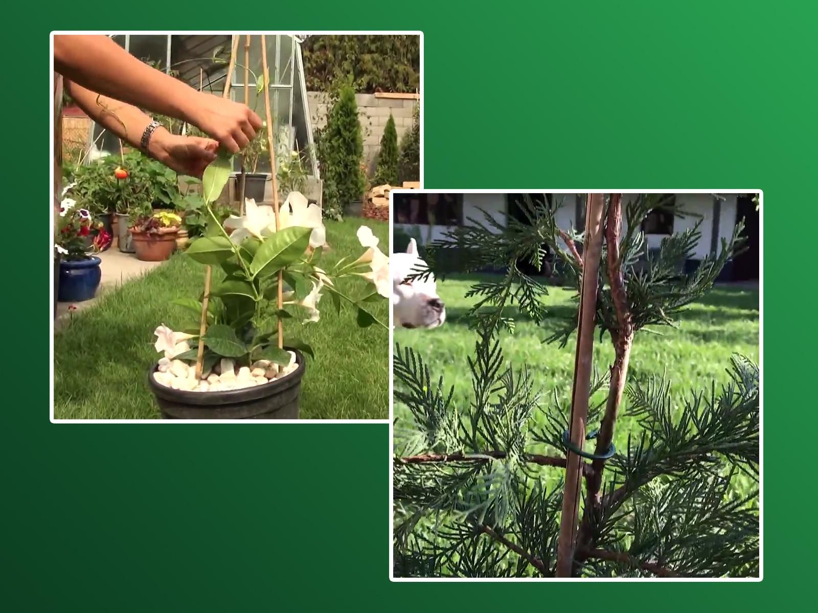 Bamboo támaszték, növénykaró, bambuszpálca, bambuszrúd