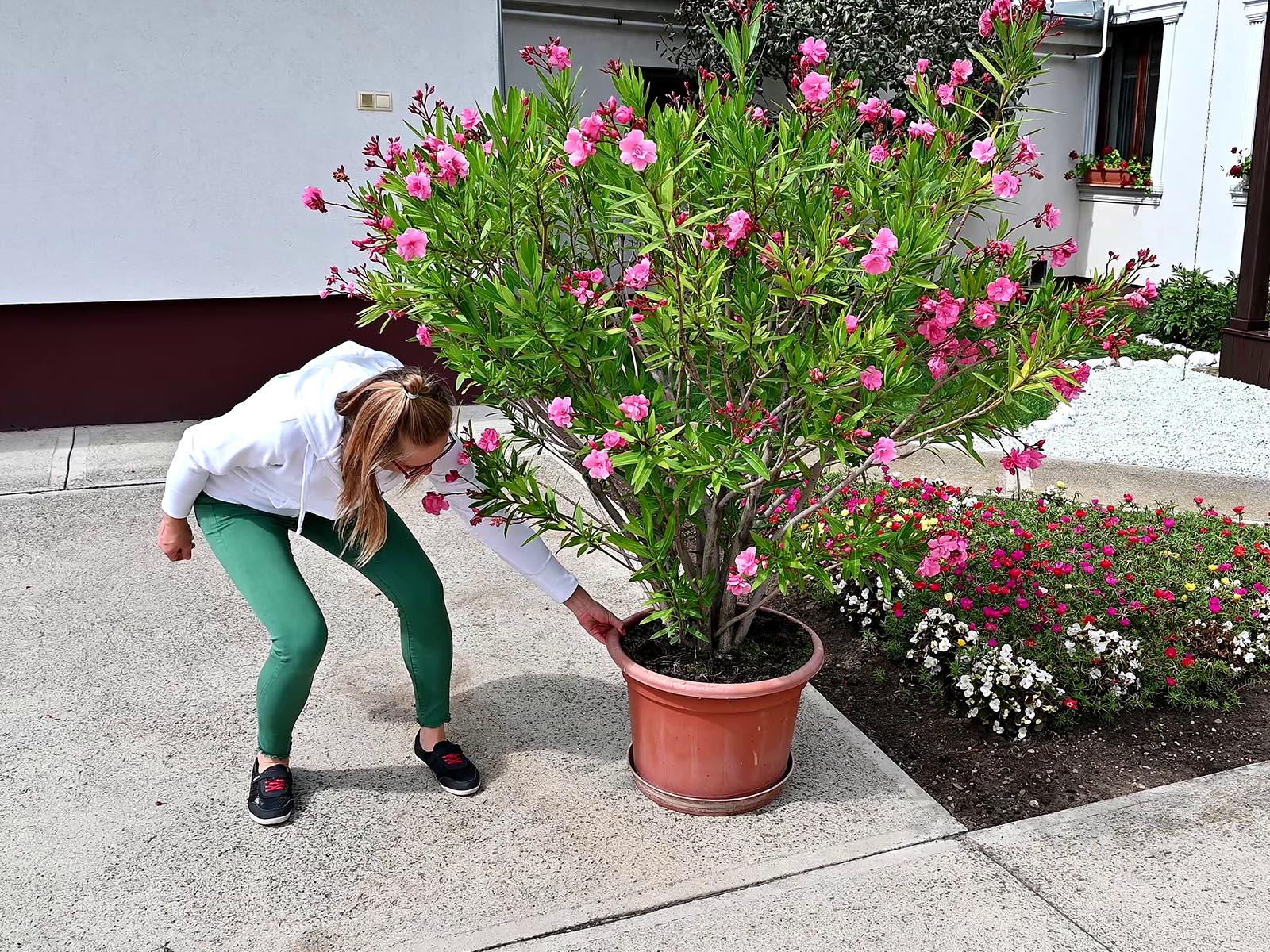 Így is lehet a nagy virágokat mozgatni - bár nem könnyű a betonon végig húzni egy 40 kg-os leandert!