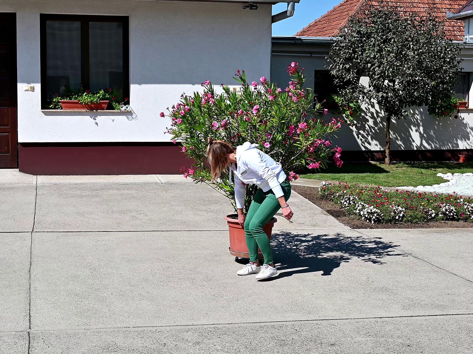 A másfél méteres leander fagymentes helyre szállításában is segítség a Flora Roll növényalátét.