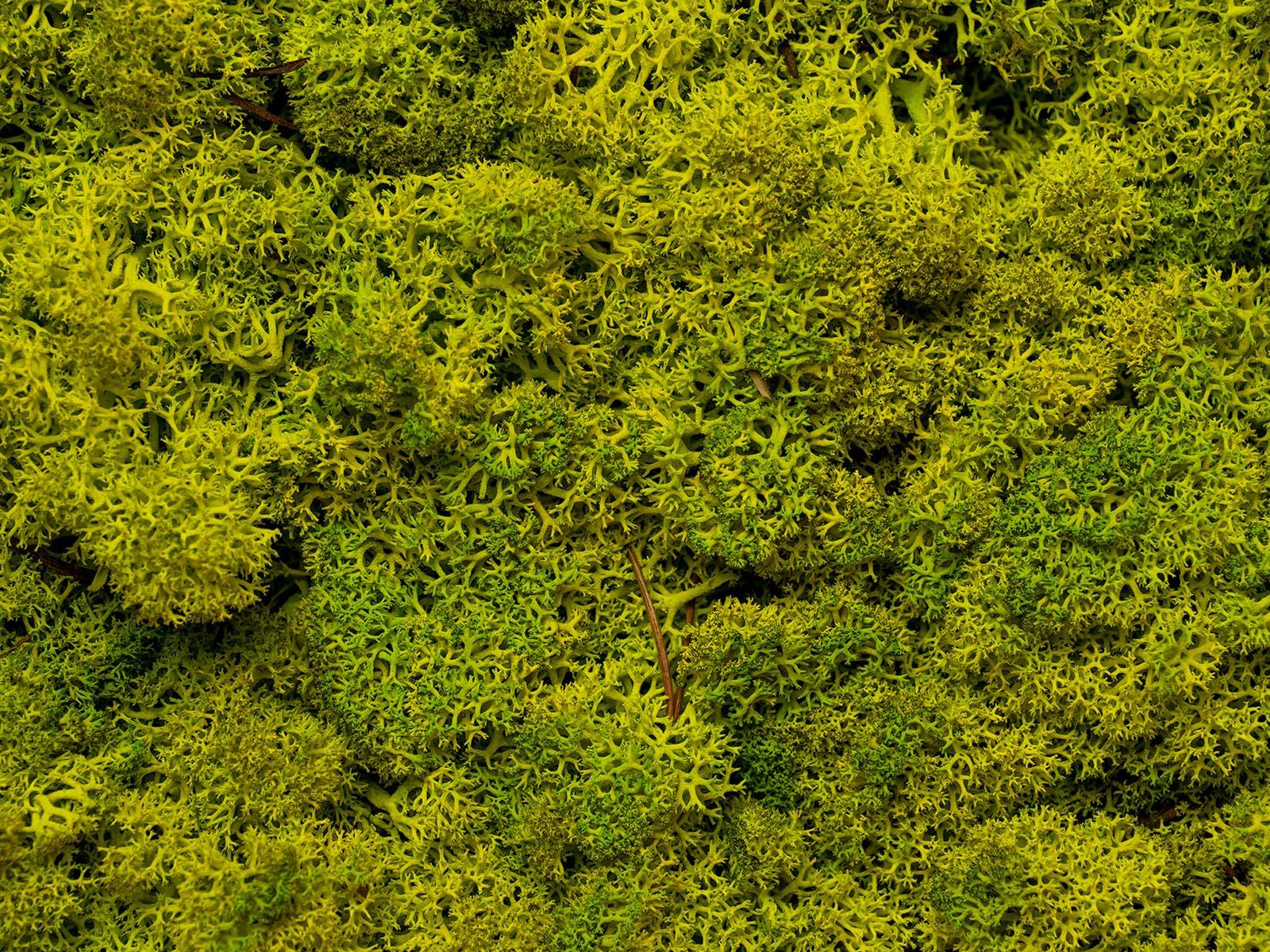 Makrofotó a tartósított zuzmóról: természetes és csodás látványt nyújt az üde zöld zuzmó!