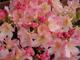 Barackrózsaszín havasszépe, havasi rózsa, hanga rózsa