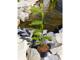 Nagyvirágú magnólia-tulipánfa, liliomfa