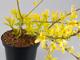 Sárga levelű aranyvessző-aranyeső, aranyág
