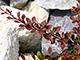 Bordó levelű japán borbolya