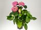 Rózsaszín hortenzia 'Hamburg' fajta