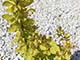 Sárga levelű japán borbolya
