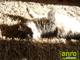 Függöny Center Shaggy Bantu szőnyeg 5 cm (64) mogyoró 66 cm széles futó
