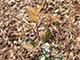Törpe korallberkenye