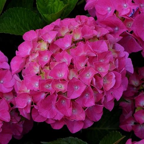 Ciklámen hortenzia