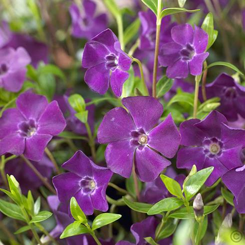 Lila virágú kis meténg