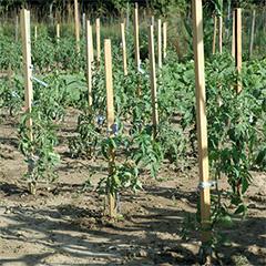 Acacia természetes akáckaró 150 cm magas (22x22 mm)